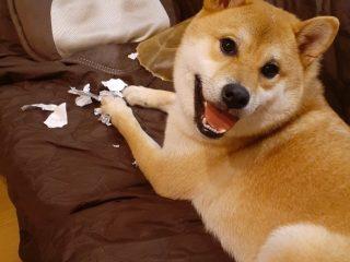 輝くような笑顔の柴犬「国勢調査やっつけておきました!(物理)」不在票をビリビリにされた飼い主さん、怒れなくなる
