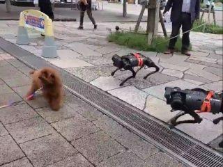 お散歩してる犬型ロボットに本当のワンちゃんが困惑!念願の対面を果たした感想を「飼い主」さんに聞いてみた